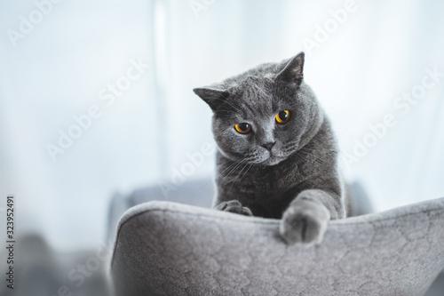 Fototapeta Playful British cat peeking out behind chair obraz