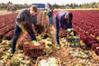 Leinwanddruck Bild - Farm workers harvesting red lettuce crop
