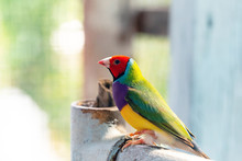 Beautiful Multi Colored Gouldi...
