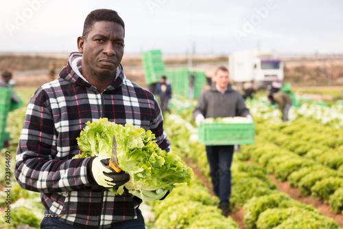Cuadros en Lienzo Afro-american farmer harvesting lettuce (lactuca sativa) on plantation