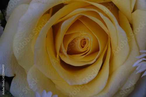 Twirling of yellow rose petal Canvas Print