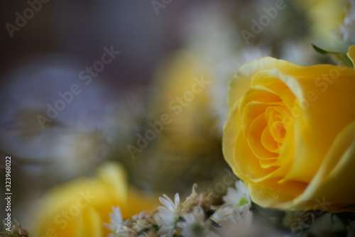 Yellow roase in close range with blur backgorund Wallpaper Mural