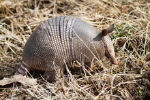 Armadillo, Nine Banded Armadillo In Oklahoma