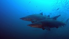 Two Sand Tiger Sharks Swim Through Swarms Of Baitfish