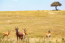Hartebeest In The Savanna With...