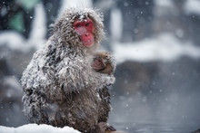 Snow Monkey At Jigokudani Park...