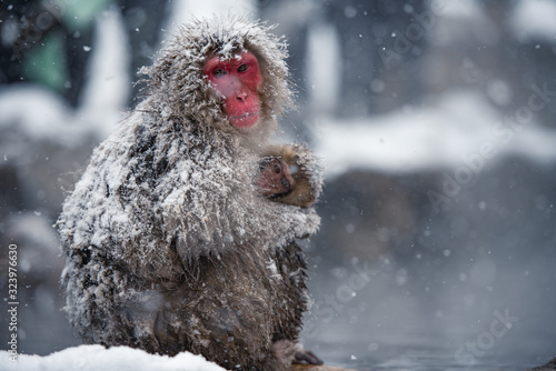Tela Snow Monkey at Jigokudani park, Japan.