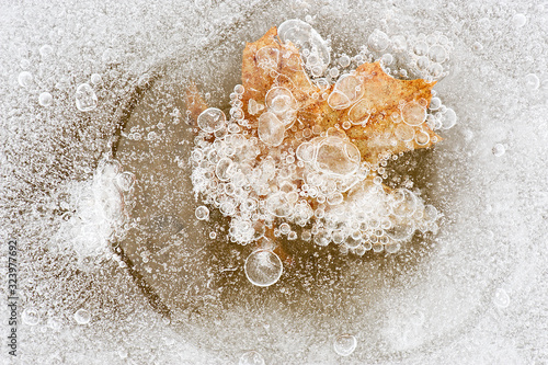 Late winter close-up of a maple leaf encased in lake ice and framed by bubbles