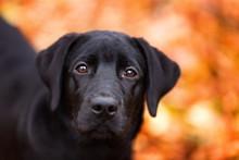 Black Labrador Dog Muzzle Closeup