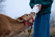A Girl Bottle Feeding A Calf