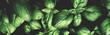 Fresh green basil leaves pattern texture full frame toned background banner. Poster