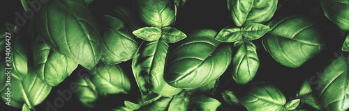 Fotografia Fresh green basil leaves pattern texture full frame toned background banner