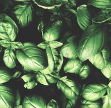 Fresh Green Basil Leaves Patte...