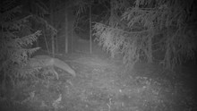 Infrared Shot Of A Red Fox Sniffing Around In A Forest On A Foggy Night