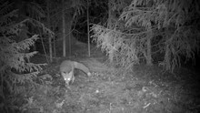 Infrared Shot Of A Red Fox Sniffing Around On A Forest Glade At Night