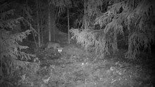 Infrared Shot Of A Juvenile Fox Sniffing Around On A Forest Glade In Rainy Night