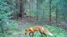 Red Fox Sniffing Around On A Forest Glade In Summer