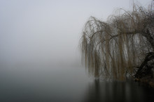 Willow Tree Over Lake In Fog. ...