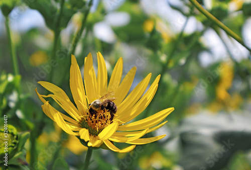 Yellow flower with pollinating bee in Arnold Arboretum of Harvard University, Bo Canvas Print