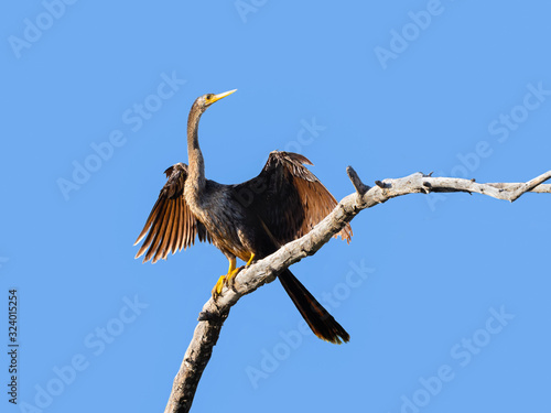 Photo Anhinga with Open Wings Portrait on Blue Sky