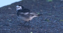 Pied Wagtail Small Bird Eating Crumbs From Concrete Bobbing Tail
