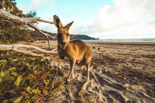 Close Up Of Kangaroo At Beach While Eating Leaves Against Blue Sky