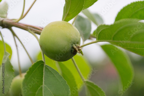 Green apples on a tree with green blurred garden as a background. Wallpaper Mural