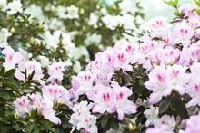 Bush With Pink Blooming Azalea