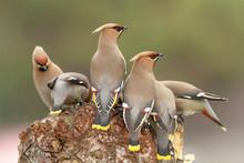 Many Birds On The Wood. Bohemian Waxwing (Bombycilla Garrulus).
