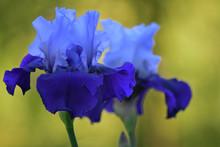 Two Purple Iris Flowers Agains...