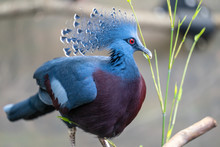 The Victoria Crowned Pigeon ,G...
