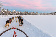 Dog Sledding With Huskies In Beautiful Sunrise In Swedish Lapland