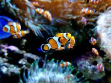 Tropical Fish In Aquarium Clow...