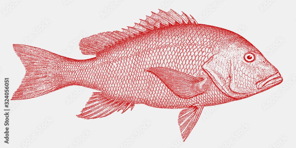 Fototapeta Northern red snapper, lutjanus campechanus, a threatened fish from the Atlantic Ocean in side view