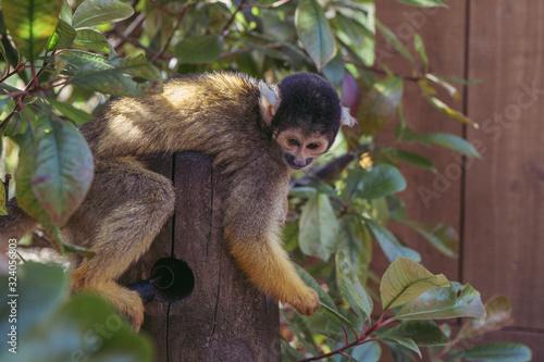 Photo squirrel monkey