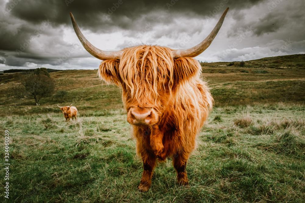Fototapeta Highland Cattle with scenic background