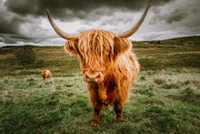 Highland Cattle With Scenic Ba...