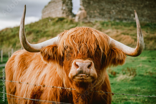 Fototapety, obrazy: Highland Cattle with long horns