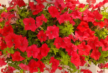 Bright Red Petunia Flower In T...
