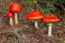 Four Amanita Muscaria Mushrooms