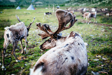 High Angle Close Up Of Domesticated Reindeer Grazing Near A Small Rural Settlement.