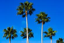 Mexican Fan Palm Tree Treetops