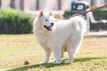 Big Fluffy White Dog On A Walk...