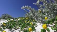 Asilomar State Parks Re Established Sand Dunes