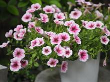 Petunia Easy Wave Viloet Pink ...