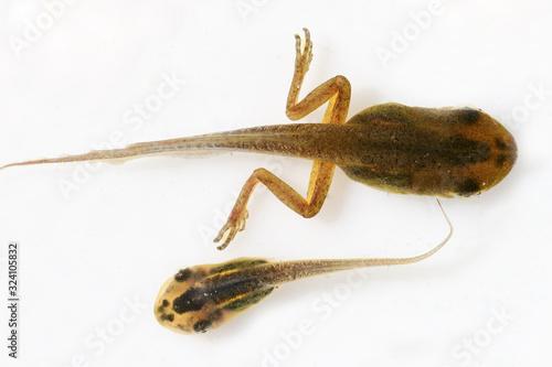 Fényképezés Peron's Tree Frog tadpole growing back legs