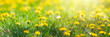 Sunny flower field of dandelions, spring blossom, meadow with yellow flowers in sunlight