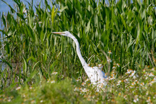 Great White Heron Standing In Tall Grass In Orlando Wetlands In Florida.