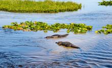 American Alligator At Orlando ...