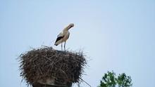 White Stork Ciconia Ciconia Pr...